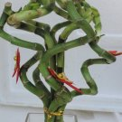 lucky bamboo Decorated -The Indoor Christmas (FREE SHIPPING)