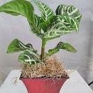 "Zebra Plant - Aphelandra - Exotic & Unusual House Plant - 5"" Decorative Fuchsia"