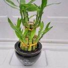 2 tier- lucky bamboo- panda vase Best Gift