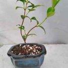 Jasmine 'Star' Plant Jasminum Nitidum- FRAGRANT (FREE SHIPPING)