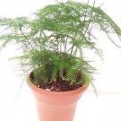 """Fern Leaf Plumosus Asparagus Fern 4.5"""""""