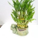 Live 3 Layer Cake Lucky Bamboo Plant W/happy Frog & Handmade Ceramic Pot 38 Stal