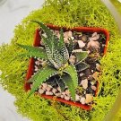 Jmbamboo - Succulent Terrarium with Moss and River Rocks
