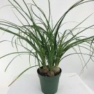 "Ponytail Palm - 4"" Pot - Beaucarnea - Great Indoors!"