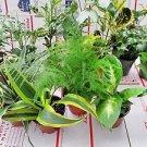 """Terrarium & Fairy Garden Plants - 3 Plants in 4"""" Pots Unique"""