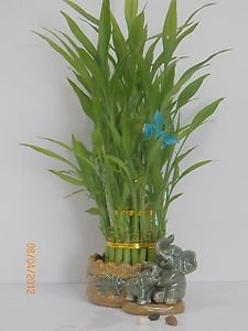 3 Layers Tower Lucky Bamboo with Ceramic Pot