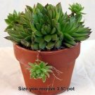 """Hens & Chicks - Semperviven -4"""" Clay Pot - Great House Plant"""