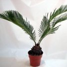 """Japanese Sago Palm - GREAT GIFT EASY TO GROW - 4"""" pot unique from Jmbamboo"""
