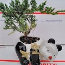 Japanese Dwarf Juniper Tree Fluffy Panda Indoor/outdoor 4''