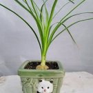 Guatemalan Red Ponytail Palm - Beaucarnea - With Panda Vase - Easy to Grow