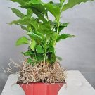 Arabica Coffee Bean Plant -With Decorative Red/blck 5'' Pot