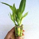 5 Stalks of 4'' Straight Lucky Bamboo
