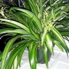 "Ocean Spider Plant - Easy to Grow - Cleans the Air - NEW - 8"" Hanging Basket"
