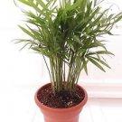 """Victorian Parlor Palm - Chamaedorea - Indestructable - 4.5"""" Unique Design Pot"""
