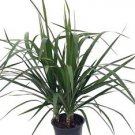 "Madagascar Dragon Tree - Dracaena marginata - 6"" Pot - Easy to Grow House Plant"