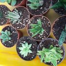 "Haworthia Collection 5 Plants - Easy to Grow/hard to Kill - 3"" Pot"