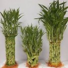 Greenviewusa---3 Assort Braided Lucky Bamboo Package