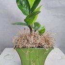 """Rare Zz Plant - Zamioculcas Zamiifolia - House Plant - 5"""" Moss Green Pot"""