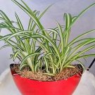 Ocean Spider Plant - Easy to Grow - Cleans the Air - With Pot 9x5'' Inches 5'' T