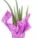 "Aloe Vera - Medicine Plant - Gift - Plant Miracle Plant 4"" Pot Wrapped"