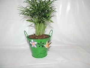 Victorian Parior Plm Chamaedorea Indestructable 12'' Tall 4''inches Pot Green Co
