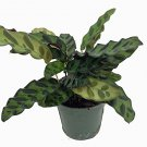 "Rattlesnake Plant - Calathea lancifolia - Easy House Plant - 4"" Pot (FREE SHIPPING)"