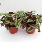 """Two Purple Wandering Jew - 4"""" Hanging Pot - Easy to Grow House Plant"""