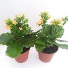 "Two Christmas Rosebud Orange Kalanchoe' - Calandivia - 4"" Pot"