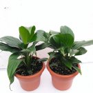 "Two Peace Lily Plant - Spathyphyllium - 4.5"" Unique Design Pot"