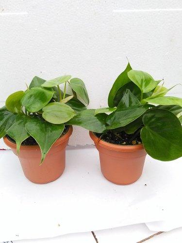 """Two Heart Leaf Philodendron 4.5"""" Unique Design Pot"""