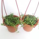 "Two String of Pearls - 4"" Hanging Basket - Senecio - House Plant"