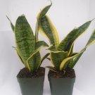 "Two Superba Robusta Snake Plant - Sanseveria - Impossible to Kill! - 4"" Pot"