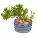 Two Japanese Juniper Bonsai Starter Tree - 4'' Blue Vase - Juniper
