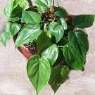 """Heart Leaf Philodendron - Easiest House Plant to Grow - 4"""" Clay Pot"""