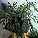 Magenta Pink Christmas Cactus Cutting 3 Cuttings with 3 Segments (No roots)