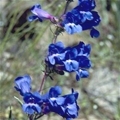 Penstemon angustifolius Pagoda Narrow Leaved Beardtongue Seeds Perennial