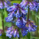 Penstemon procerus Blue Pincushion Beardtongue Seeds Perennial