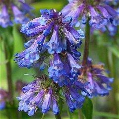 Penstemon procerus Blue Pincushion Beardtongue Seeds Perennial