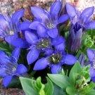 Gentiana septemfida Blue Crested Gentian Seeds Perennial