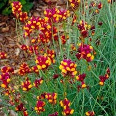 Linaria reticulata Flamenco Red and Yellow Flower Seeds Annual