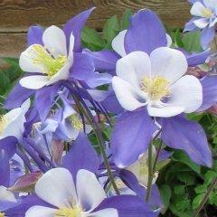 Aquilegia caerulea Blue Rocky Mountain Columbine Seeds