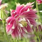 Aquilegia Nora Barlow & Rose Barlow Columbine Mix Seeds