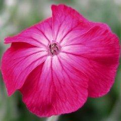 Lychnis coronaria Magenta Rose Campion Silver Leaves Seeds