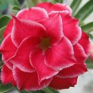 'Sweetheart' Fresh Red Adenium Obesum Desert Rose Seeds
