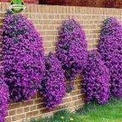 Flower seeds 100 Aubrieta Seeds - Cascade Purple FLOWER SEEDS, Superb perennial