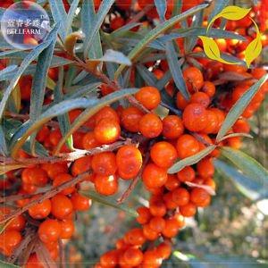 Sea Buckthorn Shrub Seeds, 20 Seeds, Professional Pack, Sandthorn Swallow Thorn