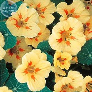 Nasturtium - Peach Melba Seeds, 8 Seeds, Professional Pack, heirloom flower seed