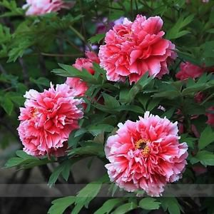 Rare White Red Tree Peony Seeds, Professional Pack, 5 Seeds / Pack