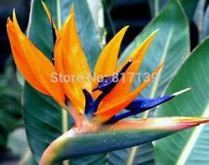 2 Seeds Home Garden Plant Strelitzia Reginae Reginaei Bird Of Paradise