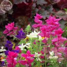 Clary Salvia Mixed (Red, Blue) Flower Seeds, professional pack, 30 Seeds, salvia
